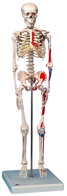 Mini Esqueleto Shorty con Músculos Pintados sobre Soporte Colgante
