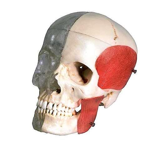 Cráneo Combinado Transparente/Huesos BONElike (8 Piezas)