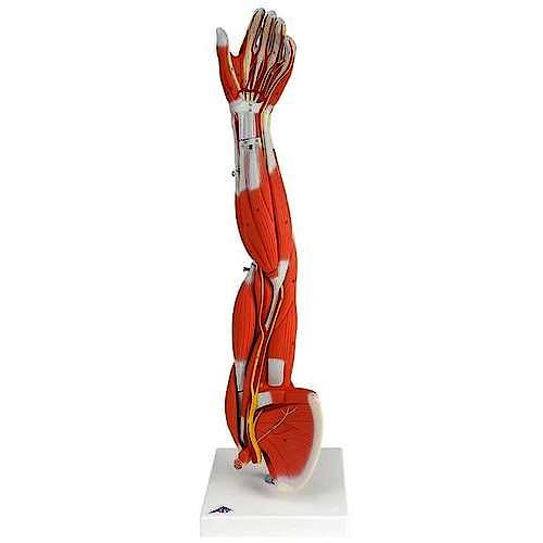 Modelo Musculo del Brazo, 6 Partes