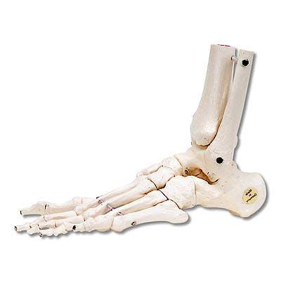 Esqueleto del Pie con Partes de Tibia y Peroné de Montaje Flexible