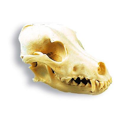 Cráneo de Perro