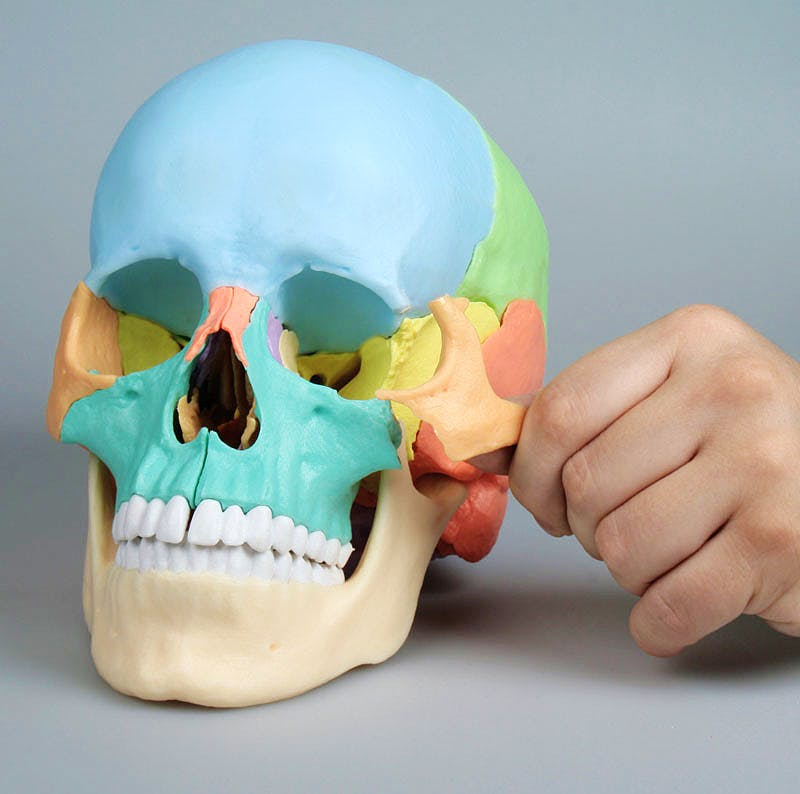 Cráneo Desmontable 22 Piezas para Osteopatía - Versión Didáctica (con Imanes)