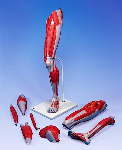 Musculos de la Pierna de Lujo, 7 Partes