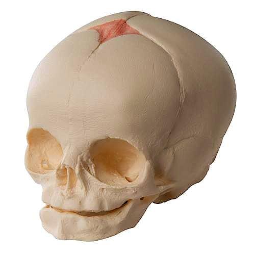Cráneo Fetal