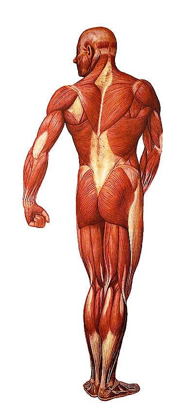 Lámina La Musculatura Humana Posterior, con Rodillos de Madera (formato 84 x 200 cm.)