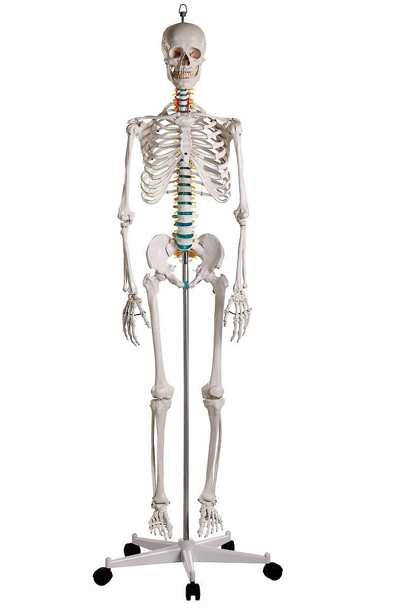 """Esqueleto Didáctico """"Óscar"""""""