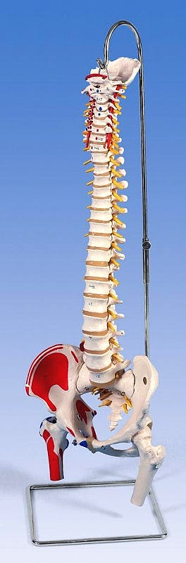 Columna Vertebral con Cabezas de Fémur y Músculos Pintados