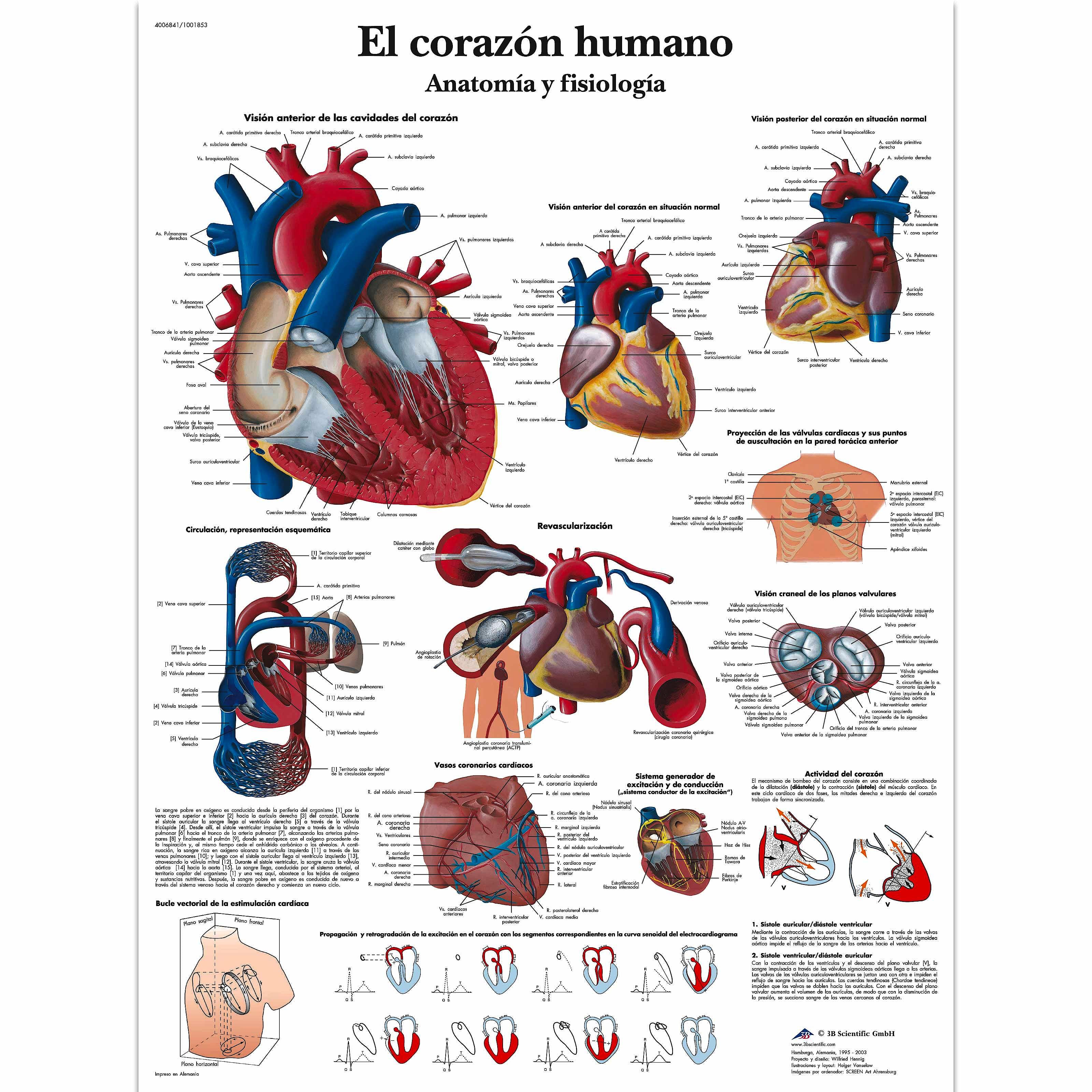 Lámina el Corazón Humano (formato 50 x 67 cm)
