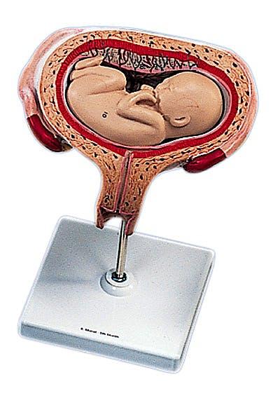 Útero con Embrión Posición Boca Arriba, Quinto Mes, 2 Partes