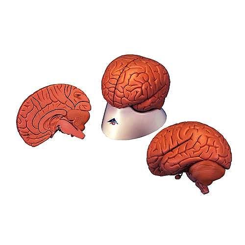 Cerebro, 2 Partes