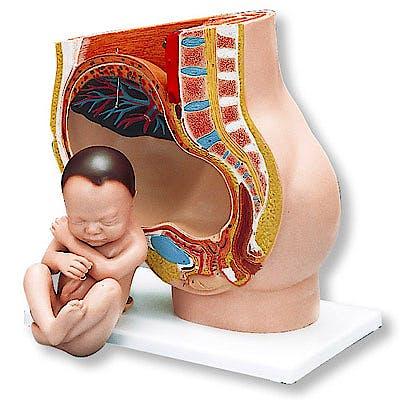 Pelvis en el Embarazo, 3 Partes