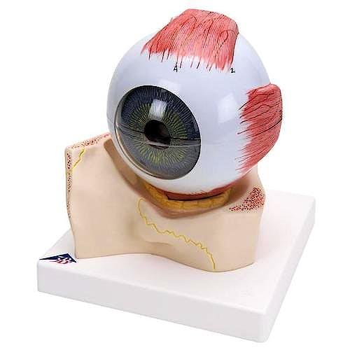 Modelo de Ojo (7 Partes)