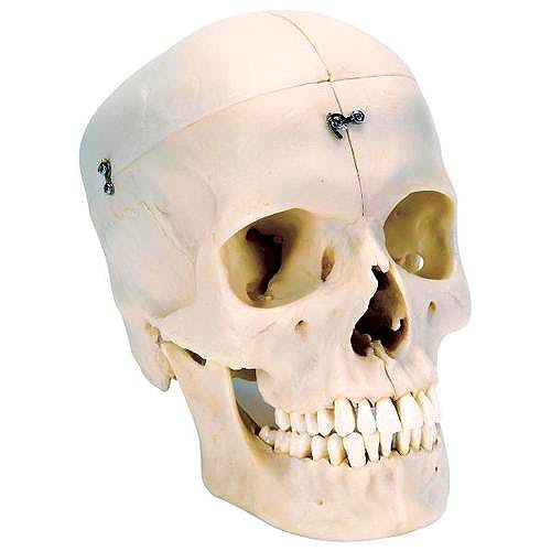 Cráneo 'BONElike' - Cráneo Óseo (6 Partes)
