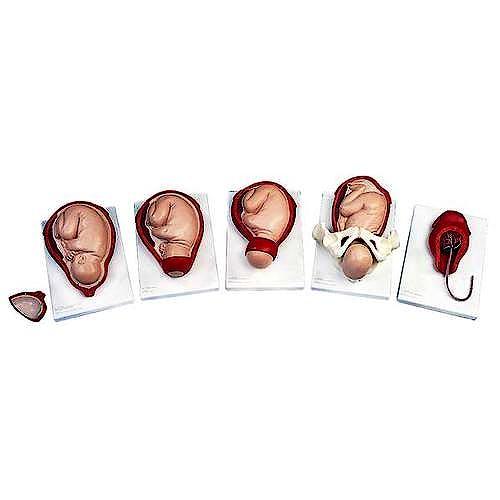 Proceso del Nacimiento (5 Etapas)