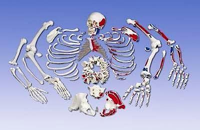 Esqueleto Completo Desarticulado con Craneo de 3 Piezas y Musculos Pintados