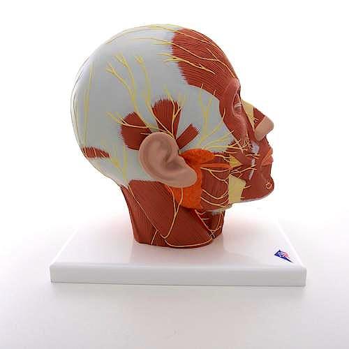 Cabeza Muscular con Cuello y Nervios