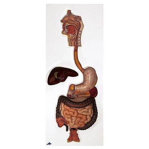 Sistema Digestivo (3 Partes)