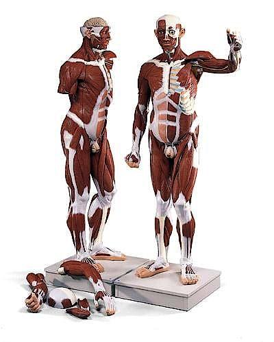 Modelo Muscular Masculino, 37 Partes