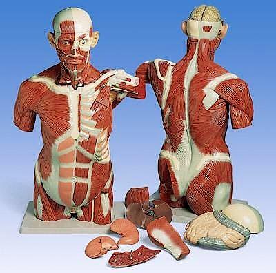 Torso Muscular con Cabeza, 27 Partes