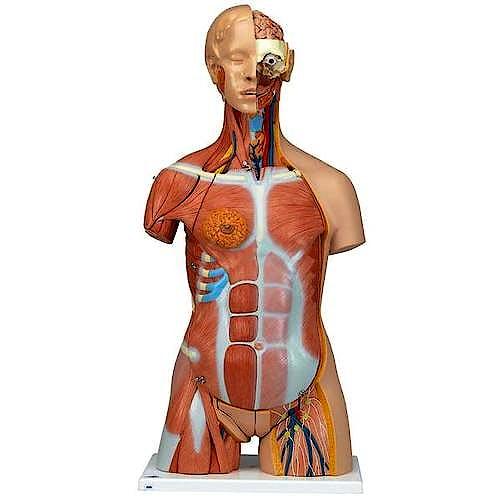Torso Muscular, con Cabeza, 30 Partes