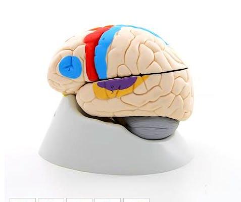 Cerebro Neuroanatómico, 8 Partes