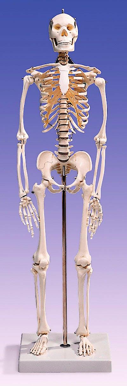 Mini Esqueleto con Craneo, 3 Partes
