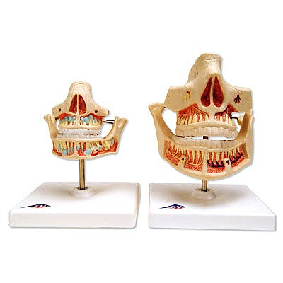Denticion Adulta