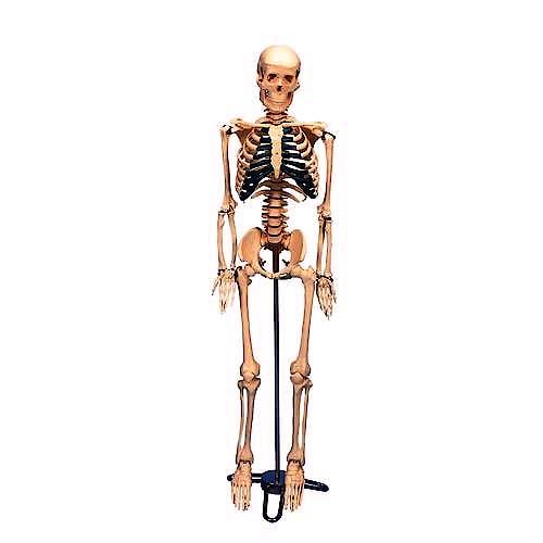 Esqueleto de Sobremesa (sobre Soporte, 84 cm.)