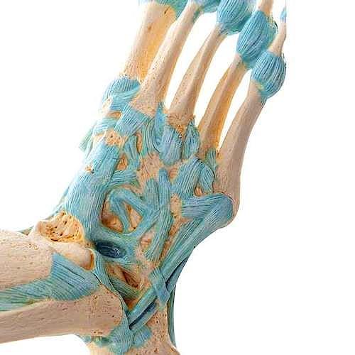 Modelo del Esqueleto del Pie con Ligamentos