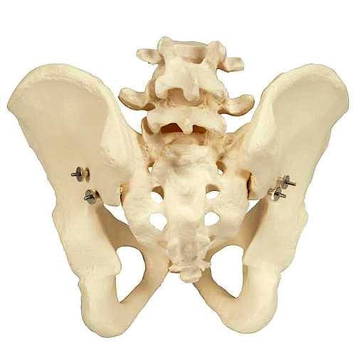 Esqueleto de Pelvis Masculina