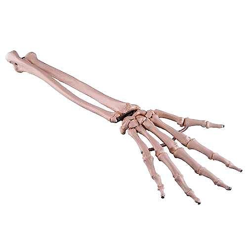 Esqueleto de la Mano con Antebrazo, Flexible