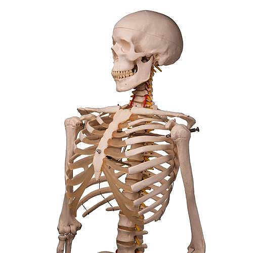 Esqueleto Fred (A15). El Esqueleto Flexible sobre Pie Metálico con 5 Ruedas