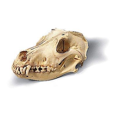 Cráneo de Perro Talla M