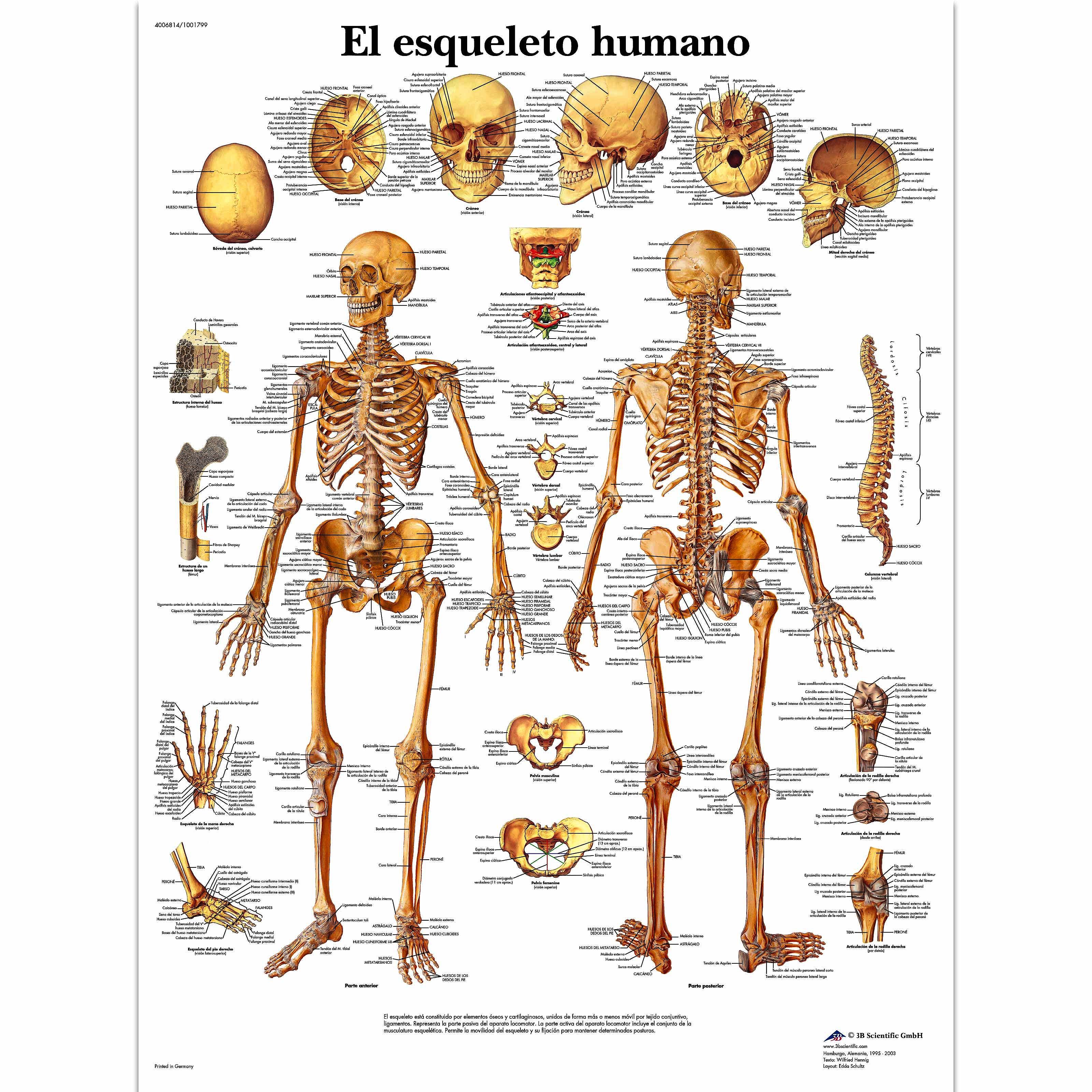 Lámina el Esqueleto Humano (formato 50 x 67 cm)