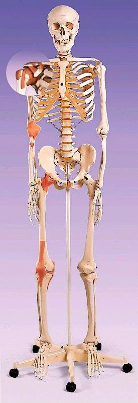 Esqueleto con Ligamentos de Union con Soporte de Rodillos con Freno 170cm.