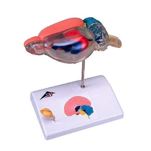Cerebro de Rata para Comparación Anatómica