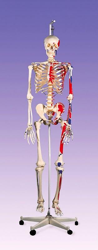 Esqueleto con Musculos con Soporte Colgante 186cm.