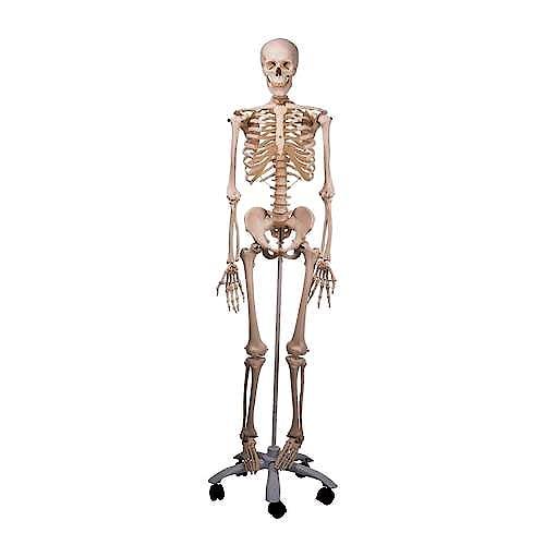 Esqueleto Estándar con Soporte con Ruedas 170 cm.