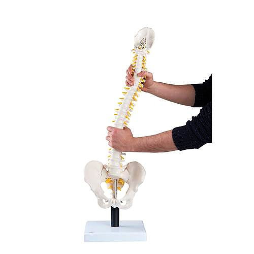 Columna Vertebral con Discos Intervertebrales Suaves