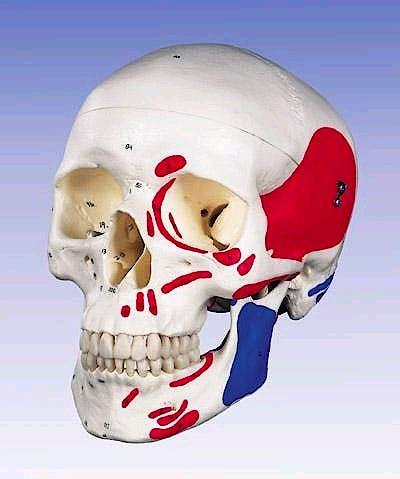 Cráneo con Músculos Pintados y Huesos Numerados, 3 Partes