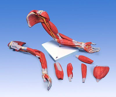 Brazo con Musculos de Lujo, 6 Partes