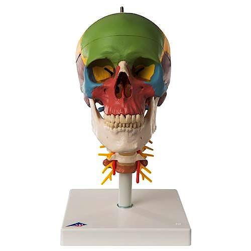 Cráneo Clásico Didáctico con Columna Cervical (4 Partes)