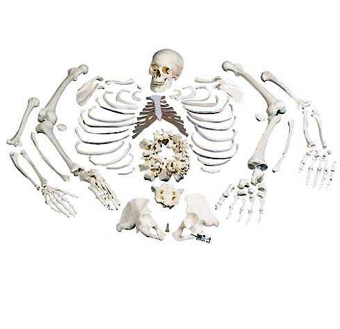 Esqueleto Completo Desarticulado con Craneo de 3 Piezas