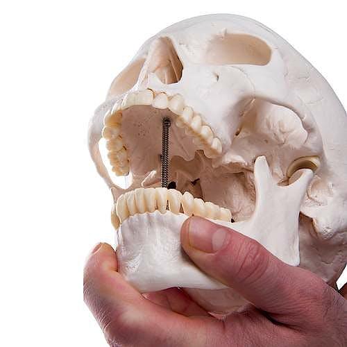 Cráneo Modelo Estándar, 3 Partes