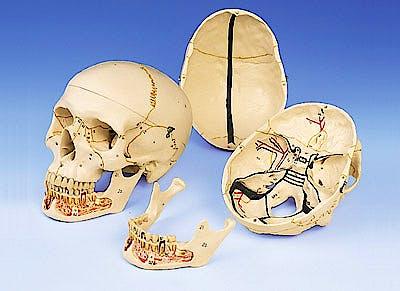 Cráneo Clásico con Mandíbula Abierta, 3 Partes
