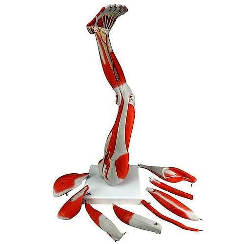 Modelo Musculo de la Pierna, 9 Partes