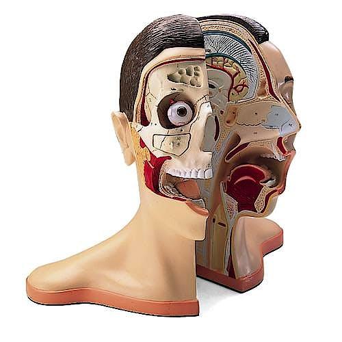 Cabeza y Cráneo (5 Partes)