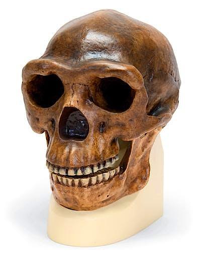 Craneo Antropologico Sinanthropus