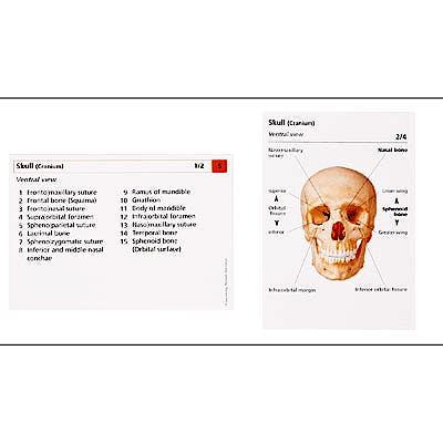 El Sistema del Esqueleto en Fichas de Aprendizaje (Inglés)