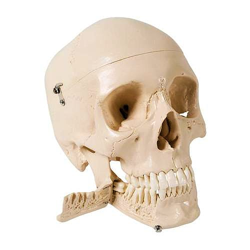 Cráneo Humano con Dientes para Extracción, 4 Partes